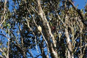 The Pollen's Vanga, very rare, a bird watchers dream! Ranomafana NP
